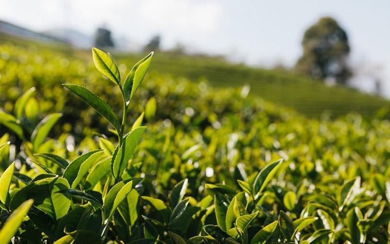 Чайное поле фото