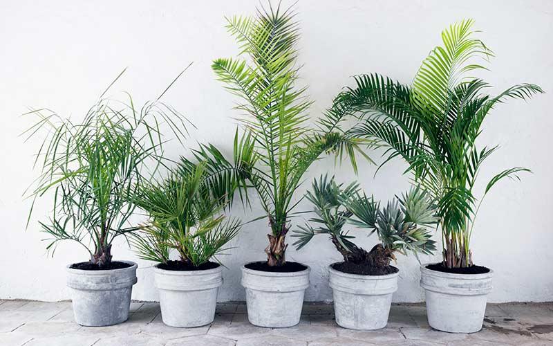 Карликовая финиковая пальма фото