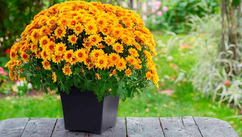 Хризантема садовая фото