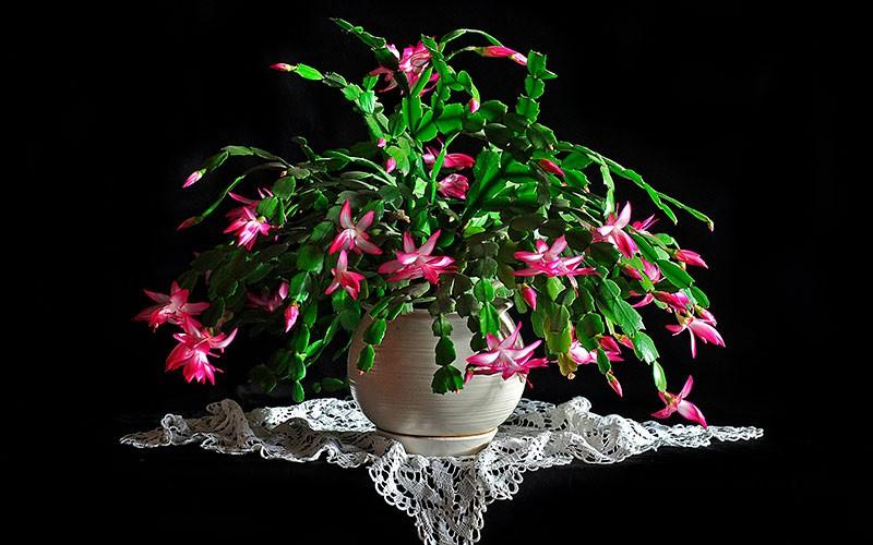 Рождественский кактус фото