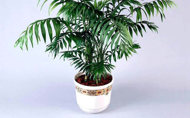Бамбуковая пальма фото