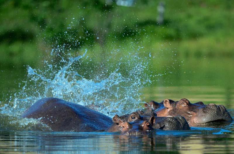 Бегемоты на фото