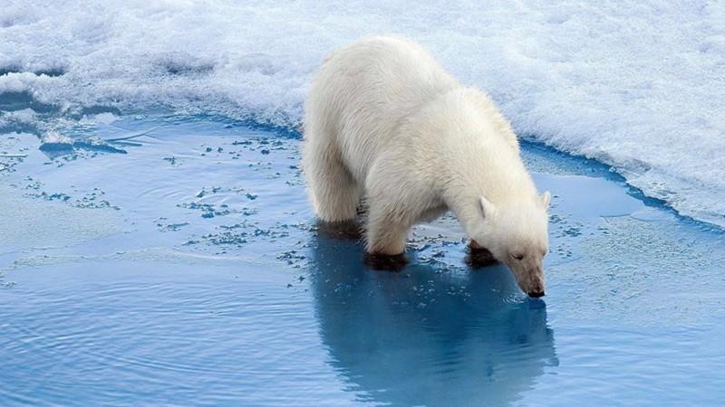 Белый медведь пьет фото