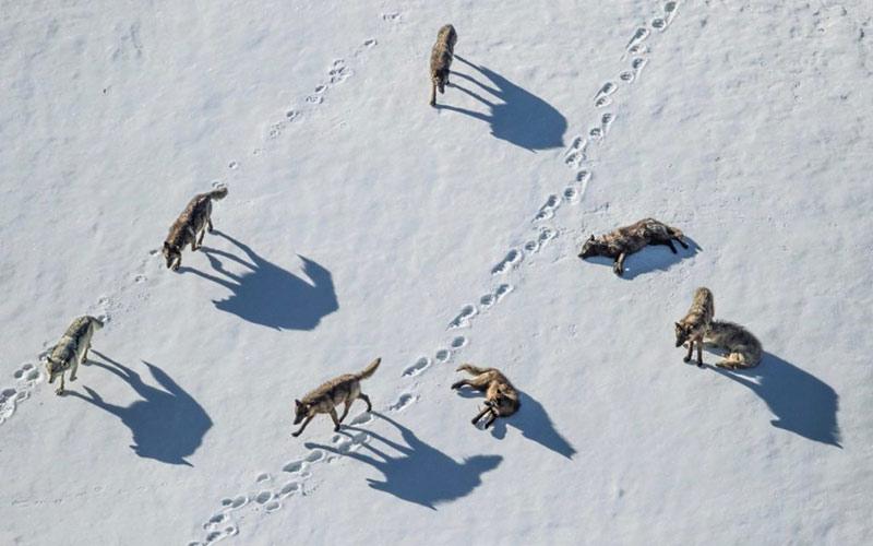 Стая волков фото