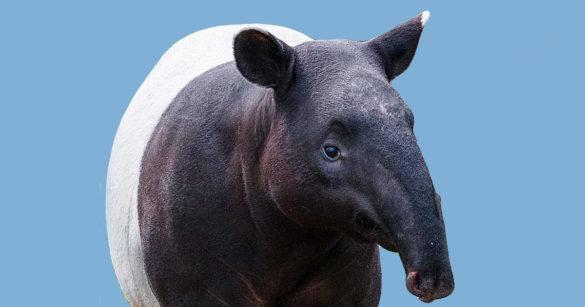 Тапир в Бразилии