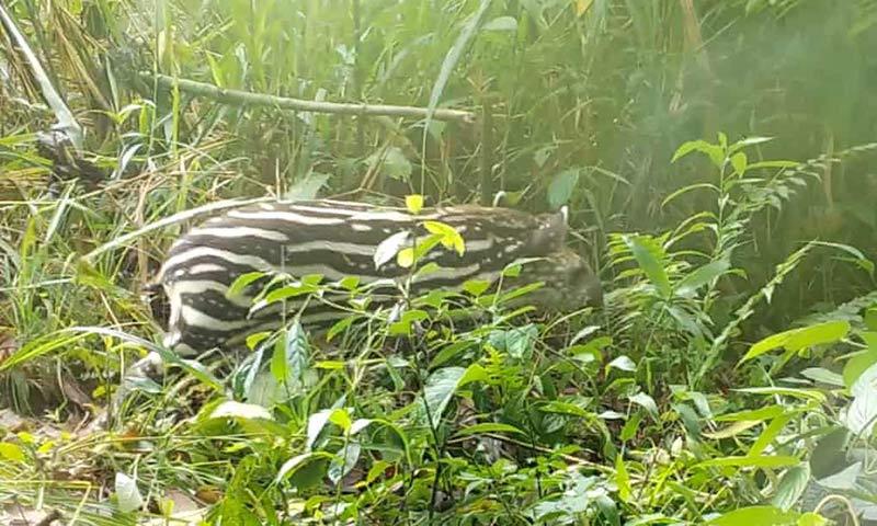 Фото тапира в траве