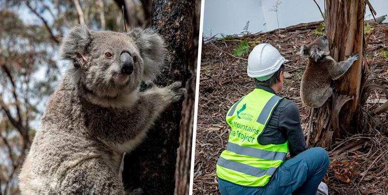 Спасение коал в Австралии фото
