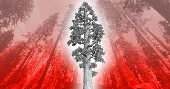 Калифорнийские секвойи умирают. Это самые устойчивые к природным катаклизмам деревья