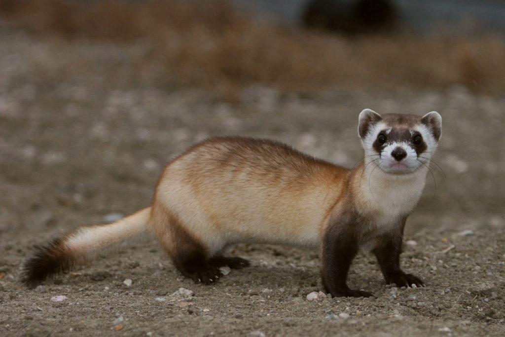 За последние двадцать лет ученые спасли 28 видов животных от вымирания